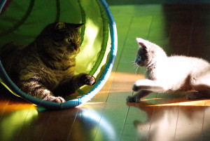 Kittens learn the rules of the cat world through play!